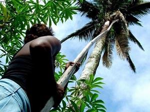 Palmeira de coco babaçu (Foto: Divulgação/MIQCB)