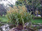 Floresce em Brasília a 'maior orquídea do mundo', diz Ibama