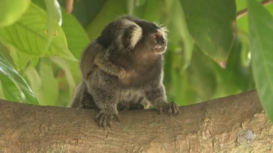 Feira de Santana, BA, confirma uma morte de macaco por febre amarela
