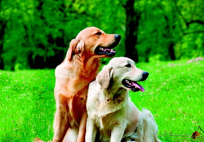 como_criar_golden_retriever (Foto: Thinkstock)