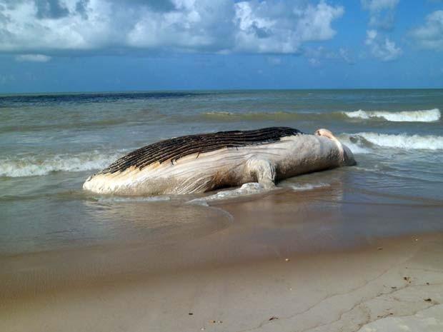 Baleia encalha no litoral do Rio Grande do Norte 1 (Foto: Maurício Kosima/Cedida)