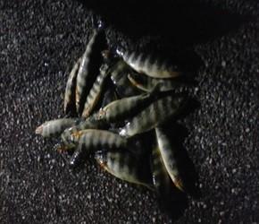 Polícia apreendeu mais de 60 quilos de pescado na Tocantins (Foto: Divulgação/PM-TO)