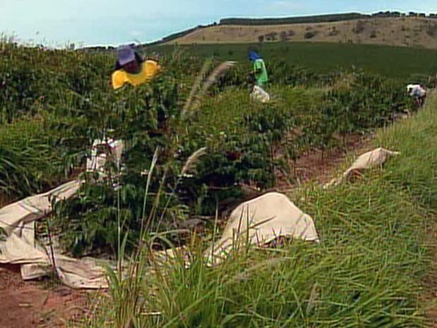 Colheita de café no Sul de MG deve ser 6% menor neste ano, diz Conab (Foto: Reprodução EPTV)