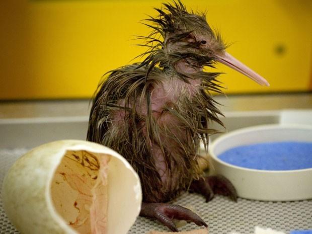 Foto tirada em 12 de setembro de 2012 mostra um filhote de kiwi, ave típica da Nova Zelândia, que nasceu no zoológico de Auckland. O pequeno espécime foi batizado de Nick 1 (Foto: New Zealand Herald, Greg Bowker/AP)
