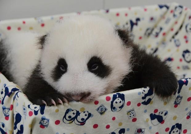 Filhote só poderá ser visto por público de zoo em outubro. (Foto: AFP Photo/Taipei City Zoo)
