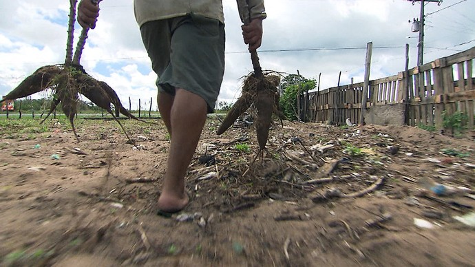 'Pé na Pista' finaliza temporada sertaneja falando do aipim, raiz muito consumida no Nordeste (Foto: TV Bahia)
