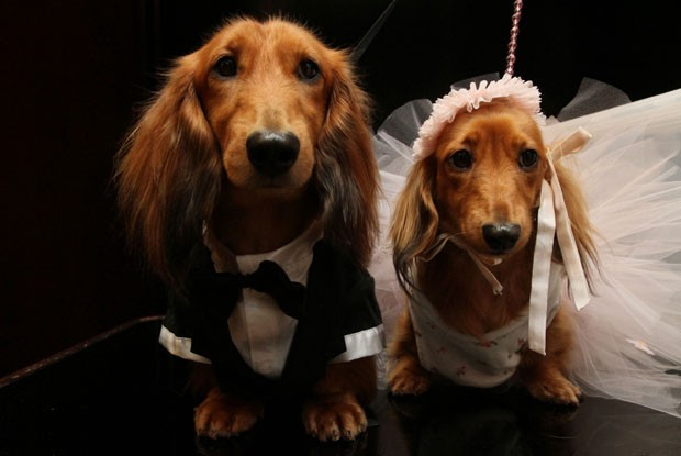 Casal de Dachshund de pelo longo 'posa' para os fot&#243;grafos (Foto: tina)