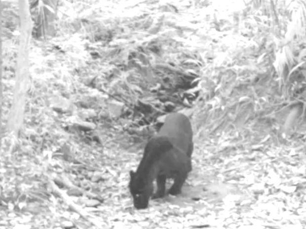 Onça-preta em registro inédito feito no Distrito Federal; câmera captou movimentos do animal à noite (Foto: TV Globo/Reprodução)