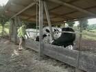 Criadores de gado de SC sacrificam o gado por causa da tuberculose