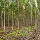 Dicas para uma plantação de eucalipto