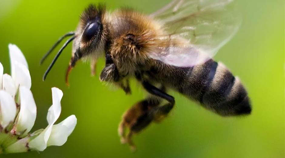 Abelha: remédio pode salvar vítimas do inseto (Foto: Reprodução)