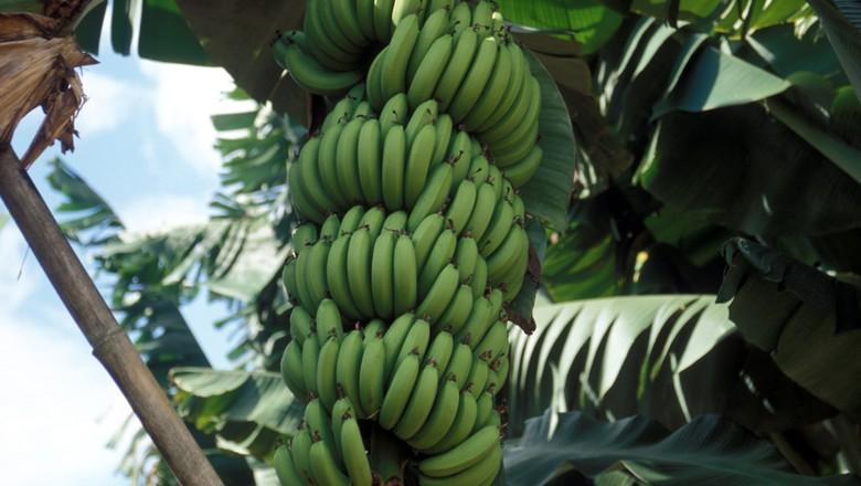 agricultura_bananeira_banana (Foto: Ernesto de Souza/Ed. Globo)