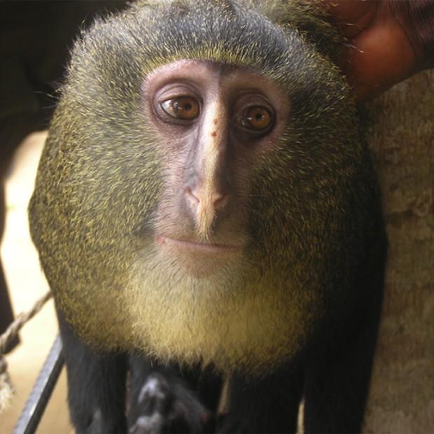 """Macaco 'loiro' é tímido, tem corpo esguio e é herbívoro, segundo cientistas (Foto: Reprodução/""""PLoS One"""")"""