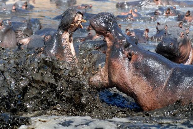 Fat hippo and a small gorilla - 1 part 3