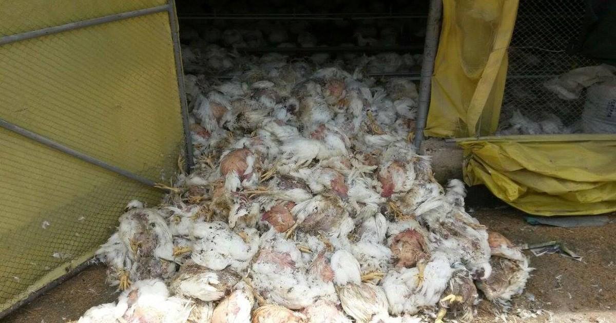 Sem energia, milhares de frangos morrem em São Sebastião do ... - Globo.com