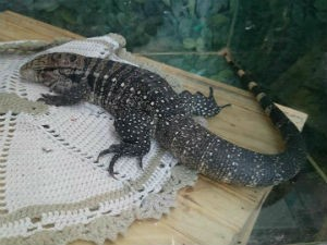 Um lagarto também estava em exposição no evento (Foto: Renata Marconi/G1)