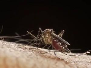 Vídeo mostra mosquito Aedes aegypti no momento da picada (Foto: Sanofi Pasteur/Divulgação)