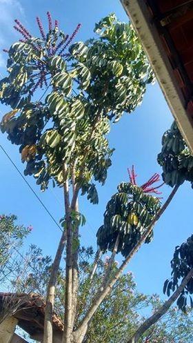 árvore-guarda-chuva (Foto: Divulgação/Bruno Castro)