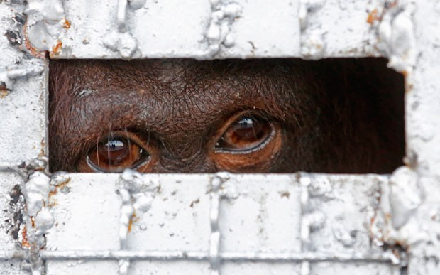 Catorze orangotangos traficados ilegalmente para a Tailândia foram devolvidos à Indonésia nesta quinta-feira (12) (Foto: Sakchai Lalit/AP)
