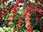 Cafeicultura capixaba atrai produtores africanos ao ES