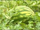 Preço pago pela melancia agrada produtores do oeste de SP