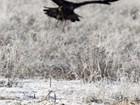 Sequência de fotos mostra caçada de águia-dourada no Cazaquistão