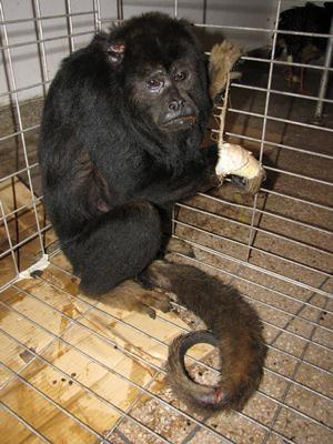 Macaco vítima de agressão deve passar por cirurgia em Anápolis, Goiás (Foto: Divulgação/Cetas)