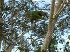Tamanduá-mirim é capturado em quintal de casa em Minas Gerais