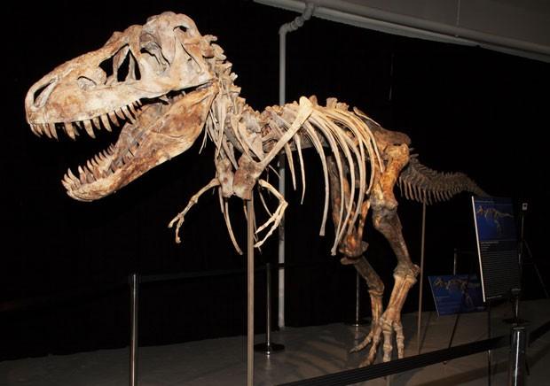 Fósseis do Tyrannosaurus bataar roubado da Mongólia (Foto: AFP)