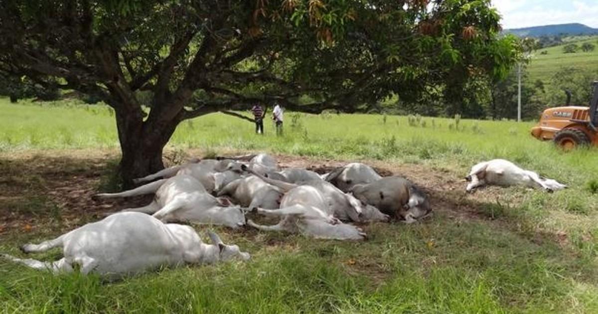 Raio mata 16 cabeças de gado em fazenda de Botucatu - Globo.com