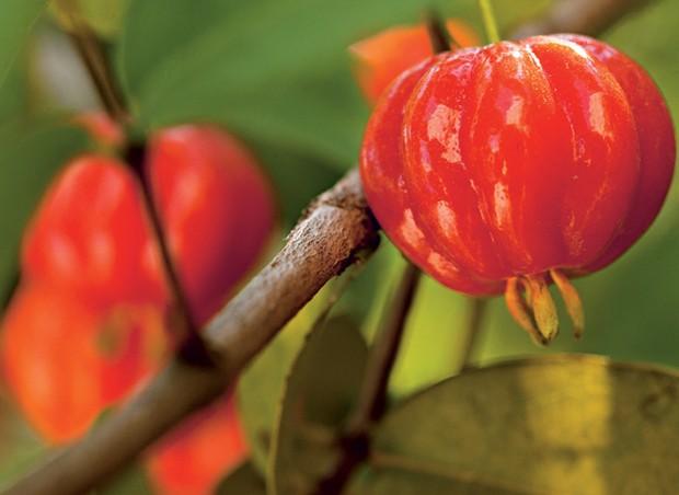 Os frutos da pitanga costumam surgir na primavera. a espécie pode ser cultivada em vasos, com terra mais arenosa e tamanho mínimo de 50 l, o suficiente para o desenvolvimento de suas raízes (Foto: Edu Castello)