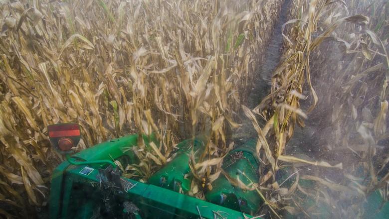milho-graos-colheita (Foto: USDA/CCommons)