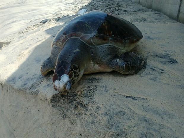 Tartaruga pesa cerca de dez quilos (Foto: Marcello Farias/ Salvemos São Conrado)
