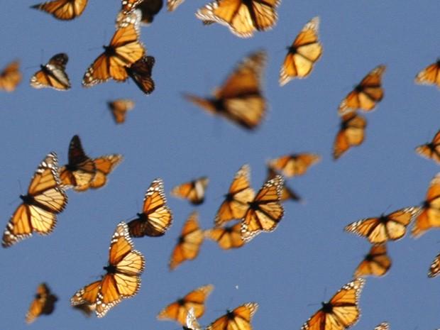 Borboletas-monarca são fotografadas em voo de migração (Foto: MonarchWatch/Divulgação)