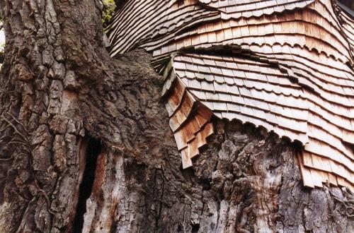 árvore apresenta sinais de velhice e decaimento (Foto: Wikimedia Commons)
