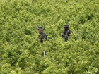 Colômbia entregará terra àqueles que substituírem cultivos de coca