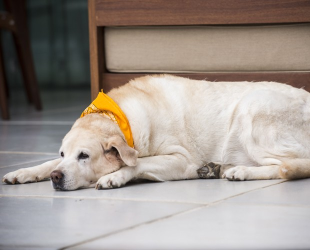 A labradora Peste descansa  (Foto: Raphael Dias/ TV Globo)
