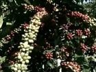 Cafeicultores enfrentam dificuldade para encontrar apanhadores no ES