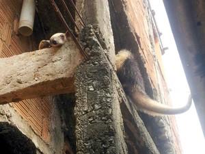 Animal estava no telhado da casa, em Bom Jesus do Norte (Foto: Divulgação/ Batalhão de Polícia Ambiental)