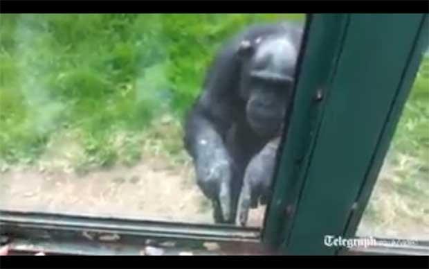 Chimpanzé 'pede ajuda' para escapar de jaula de zoológico (Foto: Reprodução)