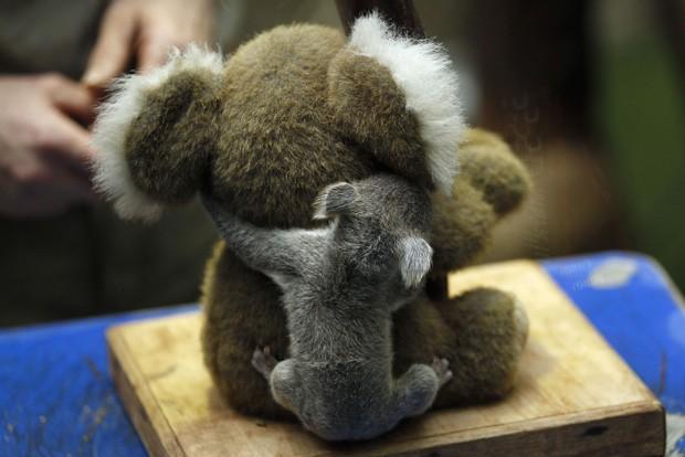 Coala é flagrado dando 'abraço generoso' em 'amigo' de pelúcia em zoológico na Alemanha (Foto: Ina Fassbender/Reuters)