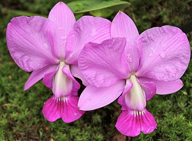 Cattleya walkeriana  (Foto: Carol Costa/Minhas Plantas - minhasplantas.com.br)
