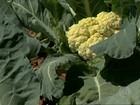 Inverno ajuda no cultivo da couve-flor em MG e o desenvolvimento é bom
