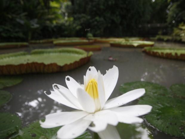 Visitantes do museu Emílio Goeldi podem conhecer detalhes da flora amazônica, como a Vitória Régia (Foto: Igor Mota / Amazônia Jornal)
