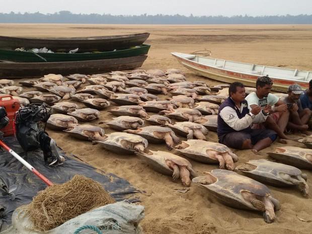 Tartarugas seriam comercializadas no estado do Amazonas, diz polícia  (Foto: Divulgação/ ICMBio)