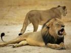 Reserva no Zimbábue recua após dizer que poderia sacrificar 200 leões