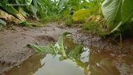 Chuva e granizo danificam lavouras de fumo no Vale do Rio Pardo