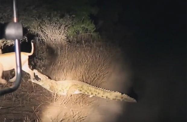 Leoa tenta impedir que réptil se aproxima do local onde estava carcaça de antílope (Foto: Reprodução/YouTube/Kruger Sightings)