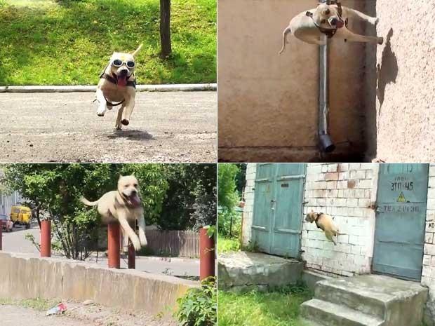Cenas do vídeo que mostra o cachorro ucraniano que faz parkour (Foto: Reprodução)