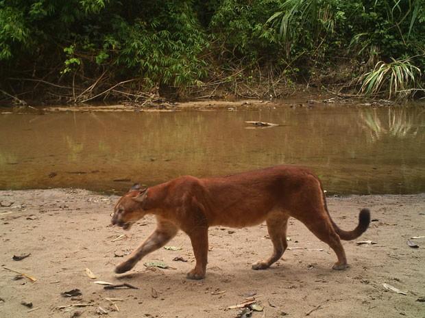 Exemplar de onça-vermelha (Puma concolor) é fotografado por armadilha instalada em reserva na floresta amazônica (Foto: Divulgação/André Botelho)